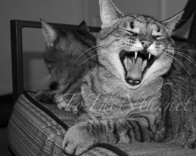 Great big kitty-cat yawn.