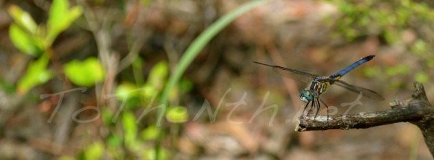 Blue Dasher dragonfly at a local state park.