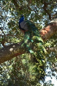February 2014: Peacock up a tree