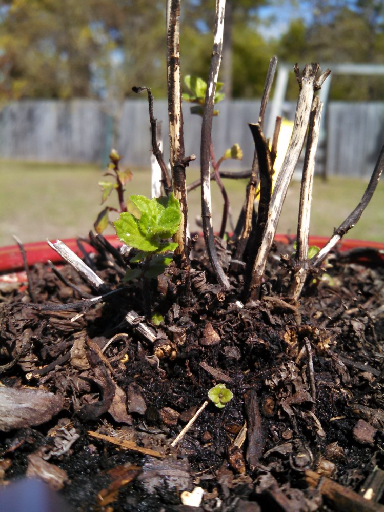 Sprouting Spearmint